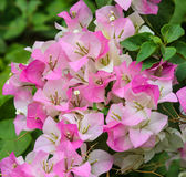 Pink Bougainvillea flower Royalty Free Stock Photo