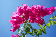 Pink Bougainvillea flower. In nature garden Royalty Free Stock Photo