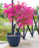 Pink bougainvillea flower in pot Stock Images
