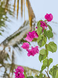 Pink bougainvillea flower in a tropical garden Royalty Free Stock Images