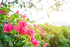 Pink bougainvillea. Flower under sunshine Stock Photos