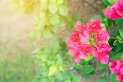 Pink bougainvillea. Flower under sunshine Stock Images