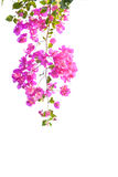 Pink bougainvillea. Flower on white background Stock Photos