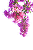 Pink bougainvillea. Flower on white background, isolated Royalty Free Stock Photo