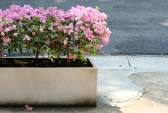 Pink Bougainvillea Flower in White Cement  Pot Royalty Free Stock Image