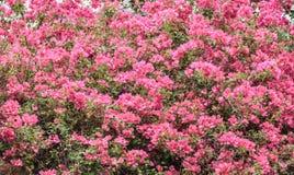 Pink bougainvillea flowering in spring Royalty Free Stock Image