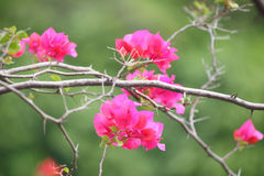 Pink bougainvillea flowers Royalty Free Stock Photography