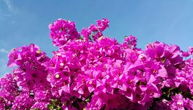 Pink bougainvillea flowers against blue sky Stock Photo
