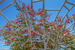Pink bougainvillea flowers against the sky Stock Photography