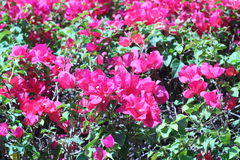 Pink bougainvillea flowers in the background vivid colors in the Royalty Free Stock Image