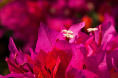 Pink bougainvillea flowers Stock Photography