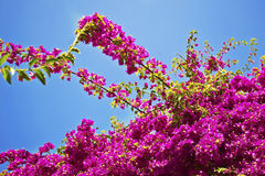 Pink bougainvillea flowers stock images