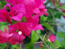Pink bougainvillea flowers, close-up, macro, view. An ornamental climbing plant that is widely cultivated in the tropics Royalty Free Stock Image