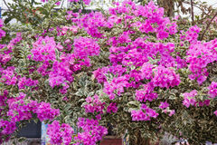 Pink Bougainvillea flowers,Family Nyctaginaceae Stock Photos