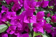 Pink bougainvillea flowers Stock Photos