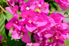 Pink bougainvillea flowers in the garden in summer outdoor.  Royalty Free Stock Photo