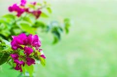 Pink bougainvillea flowers Stock Image