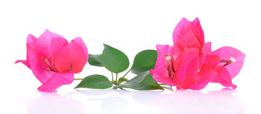 Pink Bougainvillea flowers isolated on white background Royalty Free Stock Photography