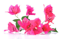 Pink Bougainvillea flowers isolated on white background Stock Images