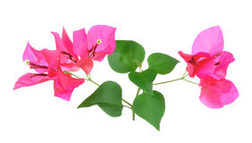 Pink Bougainvillea flowers isolated on white background Royalty Free Stock Photo