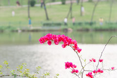 Pink bougainvillea flowers and lake Stock Image