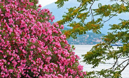Pink bougainvillea flowers Stock Photo