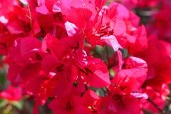 Pink bougainvillea flowers Stock Photo