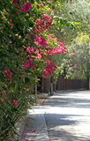 Pink Bougainvillea Flowers on Shady Street Stock Photos