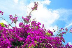 Pink Bougainvillea flowers Royalty Free Stock Image