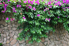 Pink bougainvillea flowers with Stone wall Stock Photography
