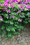 Pink bougainvillea flowers with Stone wall Stock Image