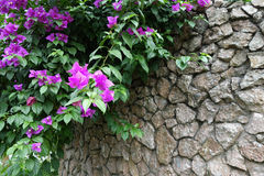 Pink bougainvillea flowers with Stone wall Royalty Free Stock Photography