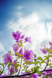 Pink Bougainvillea flowers with sun light Royalty Free Stock Photos