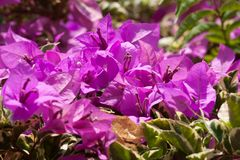 Pink bougainvillea flowers, at sunny day Stock Image