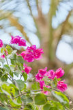 Pink bougainvillea flowers in a tropical garden Royalty Free Stock Images