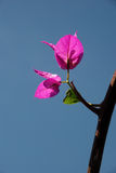 Pink bougainvillea flowers Stock Image