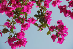 Pink bougainvillea flowers. Under blue sky Royalty Free Stock Photo