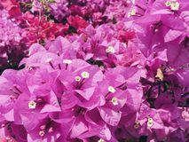 The pink bougainvillea flowers during the winter Royalty Free Stock Images