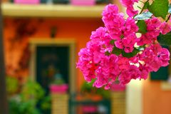 Pink bougainvillea full of color. Against a blurred background sunny plant blooming sunlight south colorful selective park leaves botanic ornamental outdoor stock image