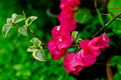 Pink bougainvillea Stock Images
