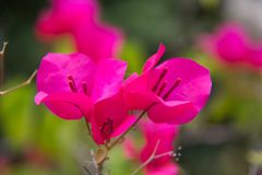Pink Bougainvillea glabra Choisy flower. Pink Bougainvillea glabra Choisy flower with leaves Beautiful Paper Flower vintage in the garden ,grass background Stock Images