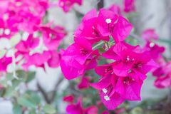 Pink Bougainvillea glabra Choisy flower. With leaves Beautiful Paper Flower vintage in the garden ,grass background blurry,Asian flowers Stock Images