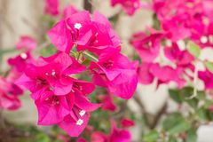 Pink Bougainvillea glabra Choisy flower. With leaves Beautiful Paper Flower vintage in the garden ,grass background blurry,Asian flowers Royalty Free Stock Photography