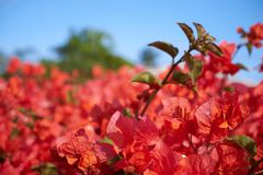 Pink Bougainvillea Hedge Under Blue Sky royalty free stock photography