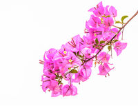 Pink bougainvillea isolated Stock Image