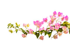 Pink bougainvillea isolated Royalty Free Stock Images