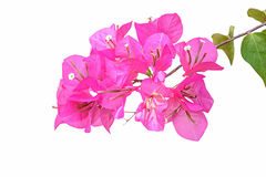 Pink bougainvillea isolated Royalty Free Stock Photo
