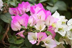 Pink Bougainvillea and leave Royalty Free Stock Image