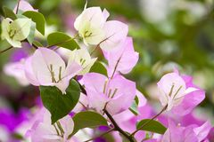 Pink Bougainvillea and leave Royalty Free Stock Photo