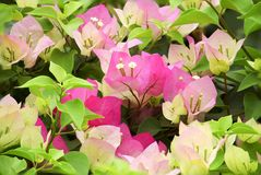 Pink Bougainvillea and leave Stock Images